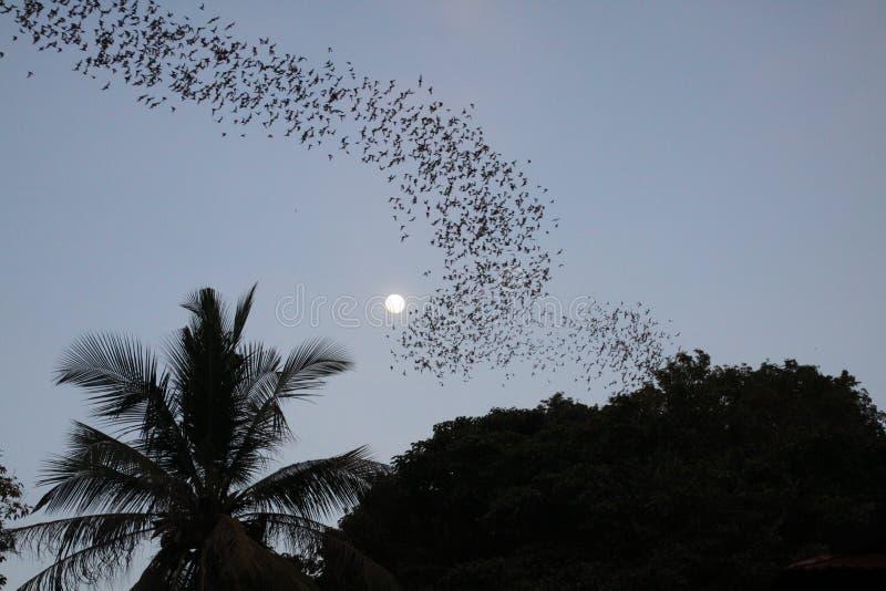 Battambong棒洞,巴南,柬埔寨:群集在与棕榈树满月和剪影的平衡的黄昏的不计其数的棒  免版税图库摄影