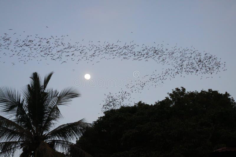 Battambong nietoperza jama, Banan, Kambodża: Niezliczeni nietoperze mrowi się za wieczór półmroku z księżyc w pełni i sylwetką dr obrazy stock