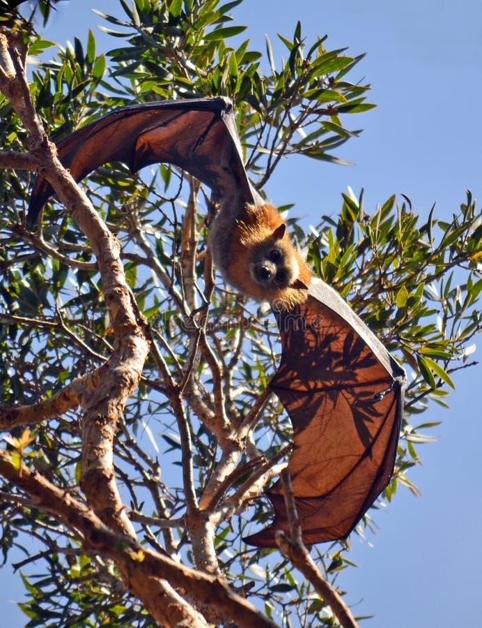 Batte de fruit australienne (Fox de vol) photos stock