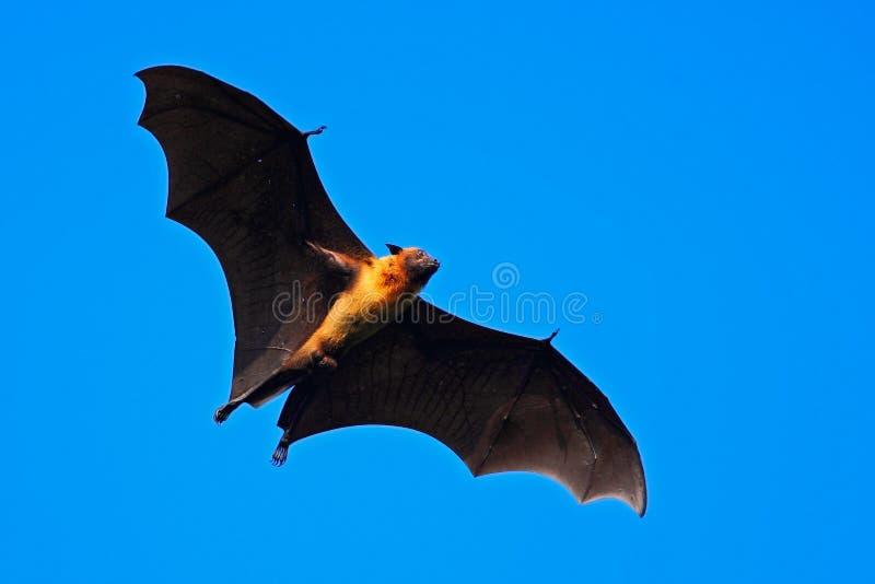 Batte de fruit indienne géante, giganteus de Pteropus, sur le ciel bleu clair, souris de vol dans l'habitat de nature, parc natio photo libre de droits