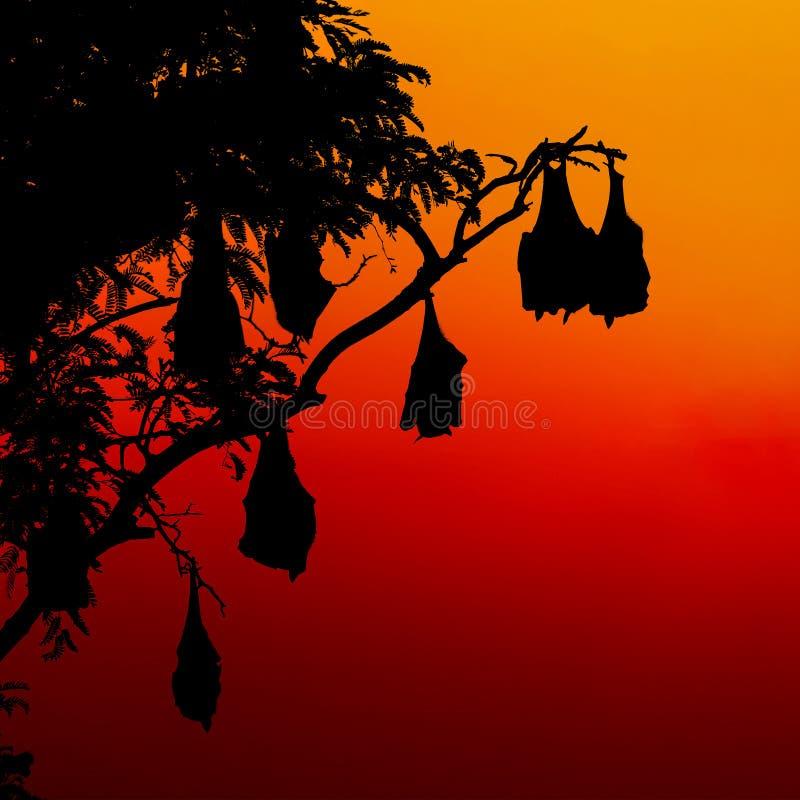 Batte de fruit silhouettée sur l'arbre au coucher du soleil image libre de droits