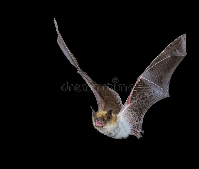 Batte de Myotis en vol la nuit photos libres de droits