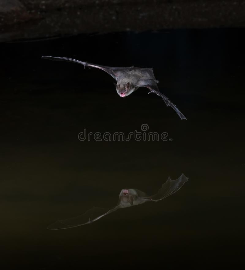 Batte de Pipistrelle occidental images stock