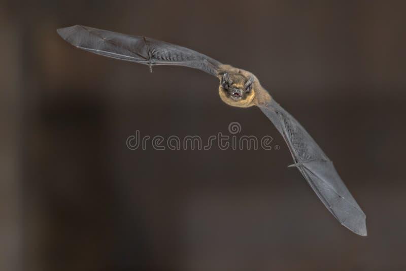 Batte de pipistrelle de vol photo libre de droits