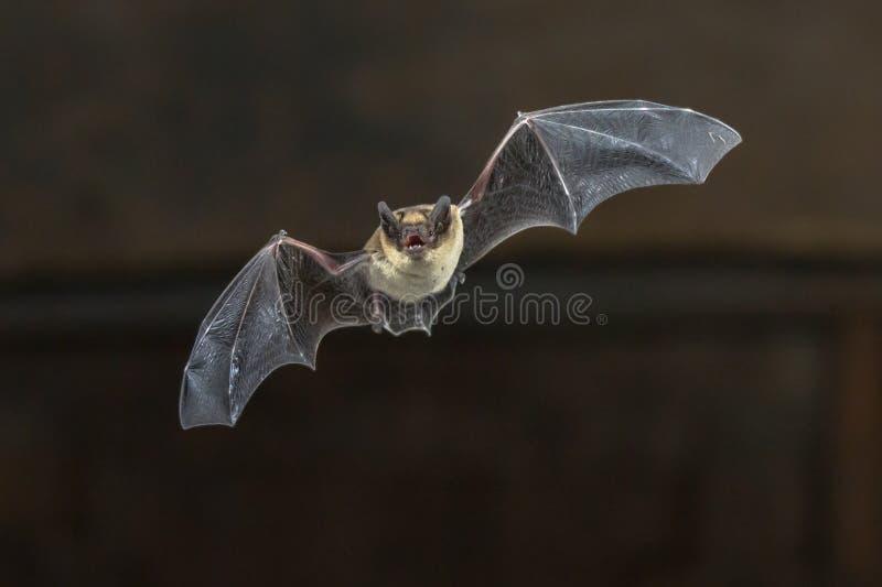 Batte de Pipistrelle de vol sur le plafond en bois image libre de droits