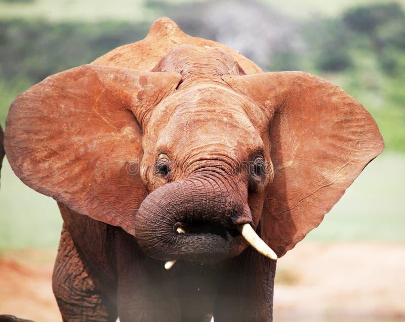 Battement africain d'éléphant de bébé photo libre de droits