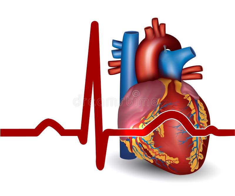 Battement de coeur humain, d'isolement sur le blanc illustration de vecteur