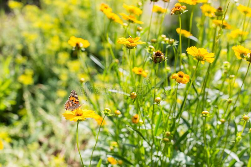 Batterfly on a yellow flowers at  summer day stock image