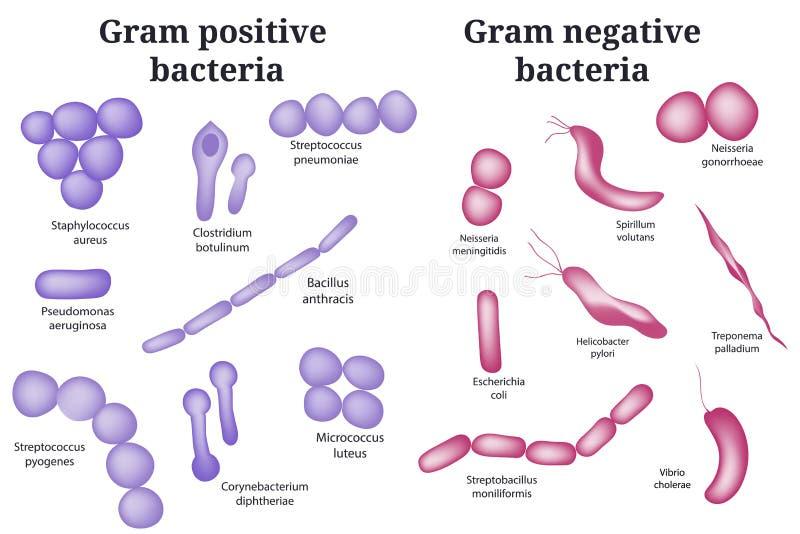 batteri gram negativi