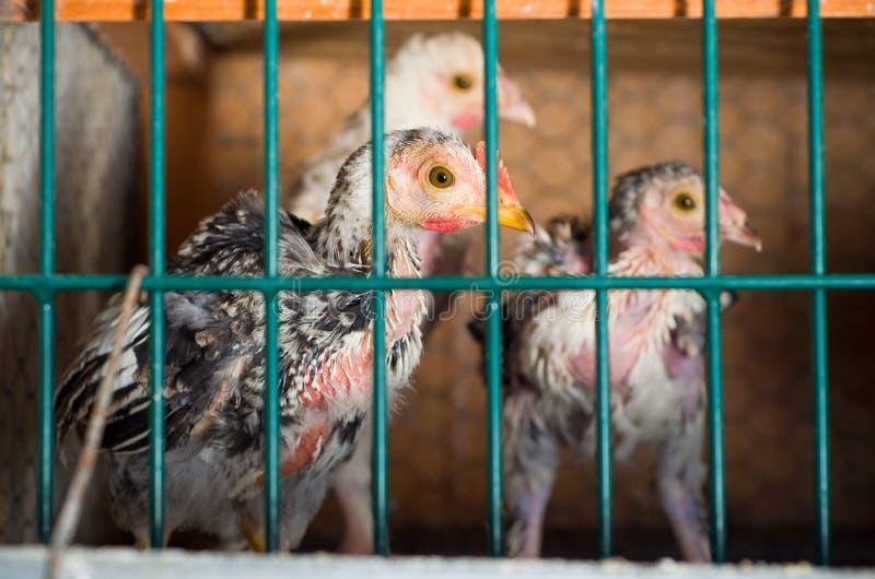 Batteria ammucchiata del pollo fotografia stock libera da diritti
