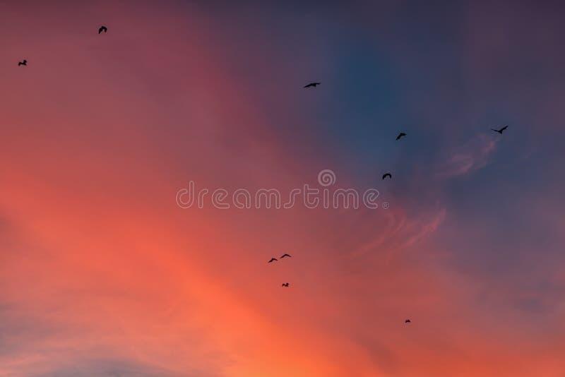 Battes dans le ciel cramoisi de coucher du soleil photos libres de droits