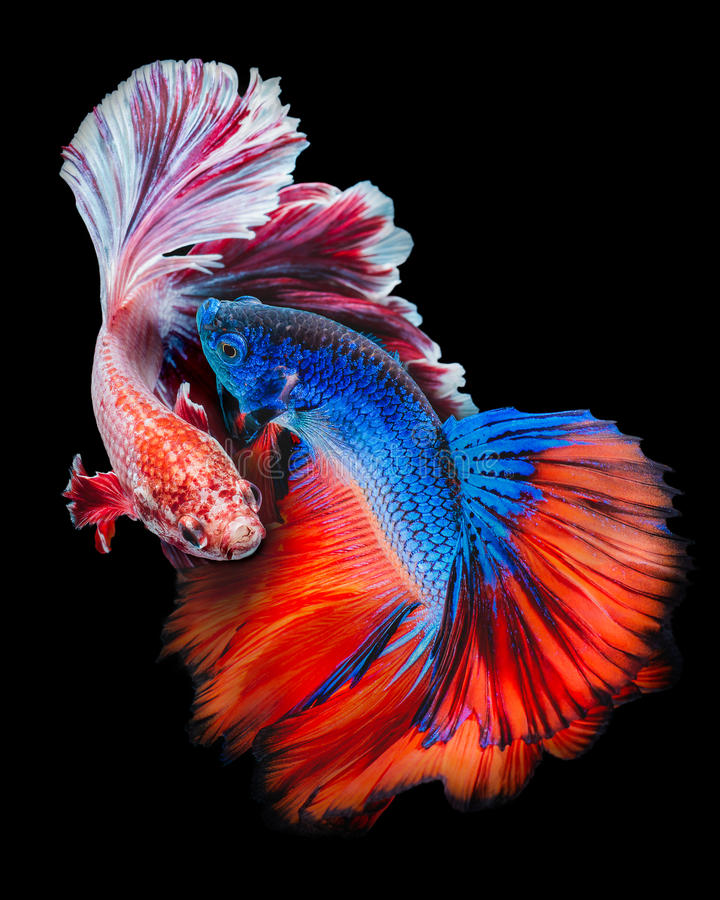 Battle​ Betta fish royalty free stock image