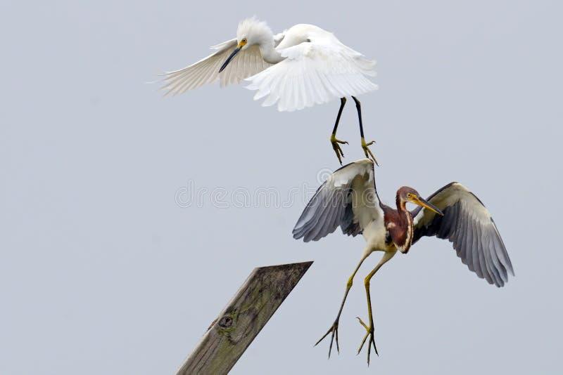 Download The Battle stock image. Image of flight, egret, water - 21350863