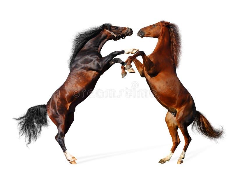 Battle horses royalty free stock images