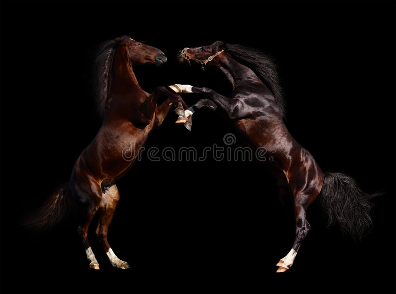 Battle of horses royalty free stock photography