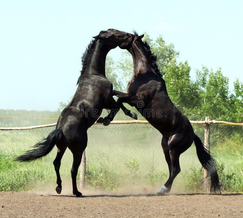 Battle of two black stallion stock photo