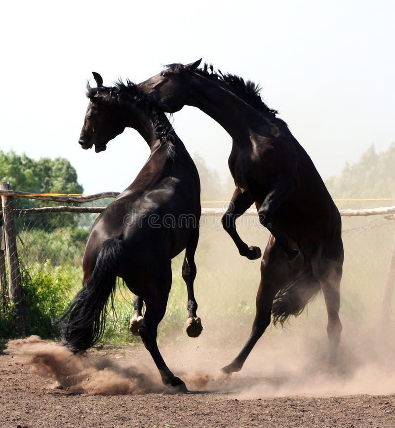 Battle Of Two Stallions Stock Photos