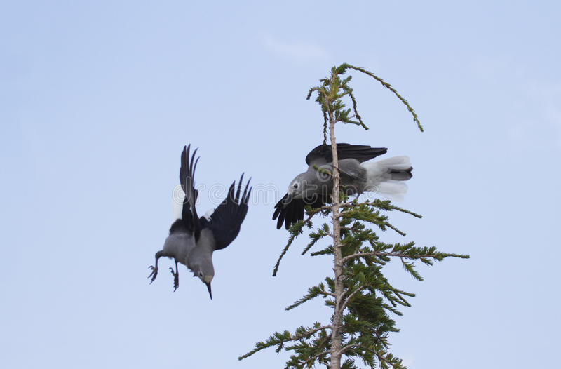 Battling birds are Clark`s Nutcrackers in Crater Lake National P. Two, feisty Clark`s Nutcrackers fight in evergreen in Crater Lake National Park, Klamath Falls stock image