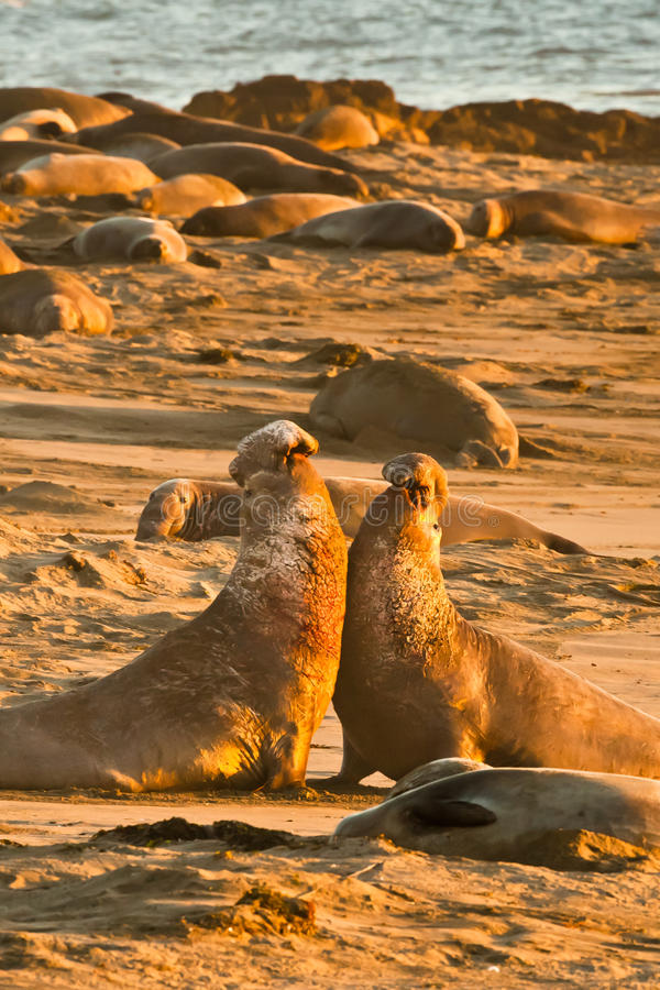 Battling Elephant Seals