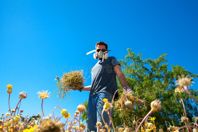 Battling Weeds. A man with allergies wears a face mask and goggles while pulling weeds in his front yard stock images