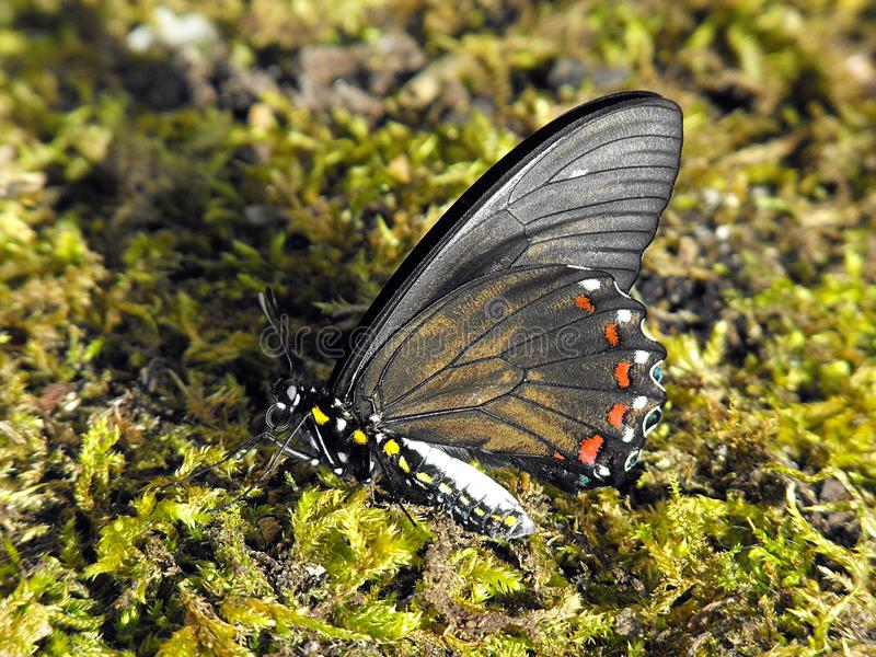 Battus Swallowtail下面 库存照片