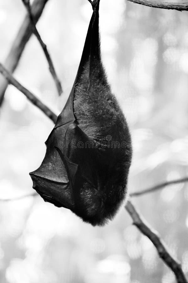 Batty royalty free stock photo