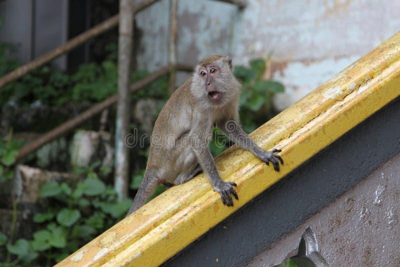 Batu caves monkey stock image