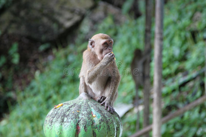 Batu caves monkey. Monkey on the way to the temple cave. Batu caves are the most famous cave landmark near Kuala Lumpur, Malaysia. Photo taken on: Aug 18th, 2009 royalty free stock image