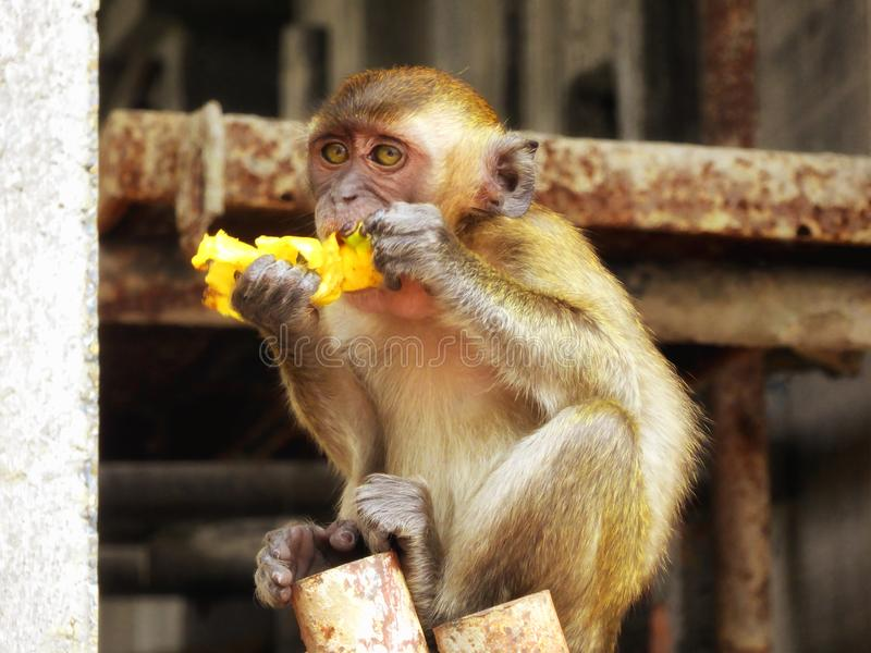 Batu Caves young monkey eating banana stock photos