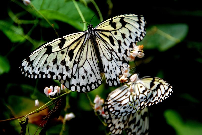Batu Ferringhi, Malaysia: Butterfly Feeding. Black and white butterflies sipping nectar from tropical flowers at the Penang Butterfly Farm in Batu Ferringhi stock photo