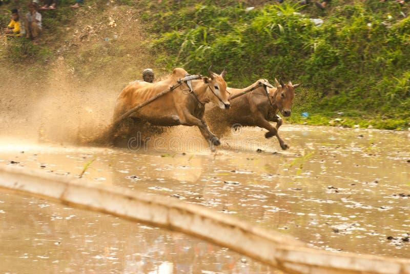 Batusangkar, Индонезия, 29-ое августа 2015: 2 коровы и одно действие человека полностью на гонке Pacu Jawi коровы, западной Сумат стоковые фото