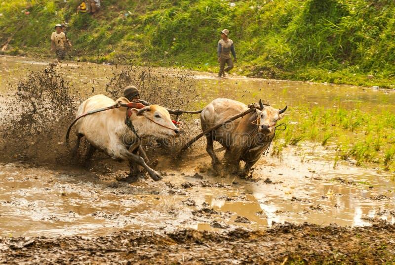 Batusangkar, Индонезия, 29-ое августа 2015: 2 коровы и одно действие человека полностью на гонке Pacu Jawi коровы, западной Сумат стоковая фотография