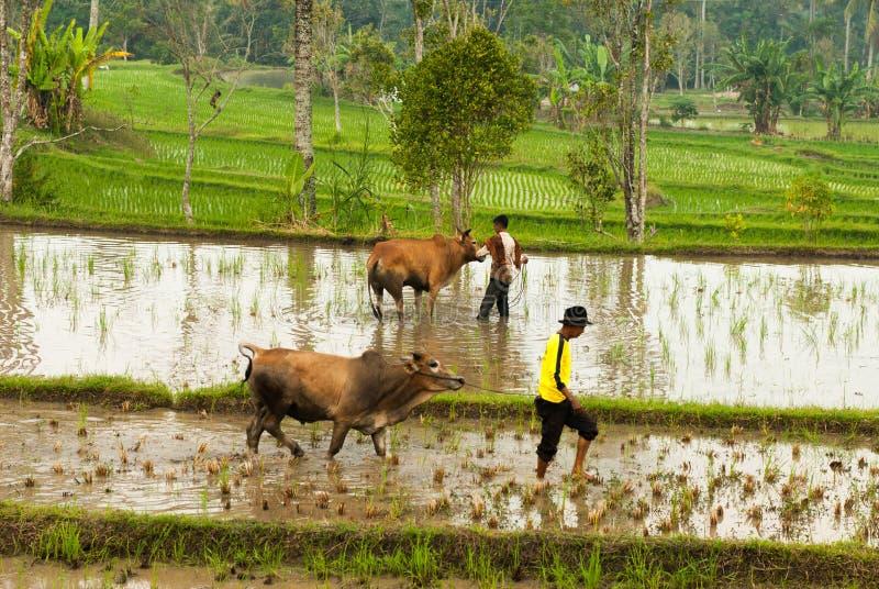 Batusangkar, Индонезия, 29-ое августа 2015: 2 коровы получая остатки от гонки Pacu Jawi коровы, западной Суматры, стоковое фото rf