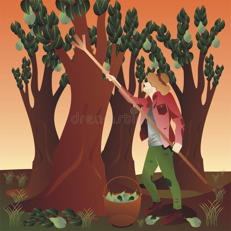 Bauer, der Birnen erntet stock abbildung
