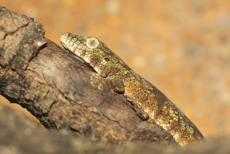 Bauer kameleontgecko arkivfoton