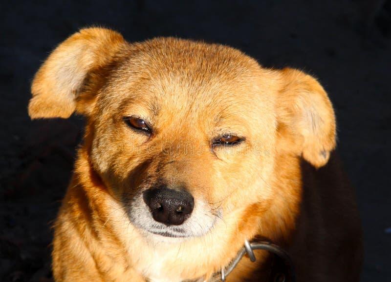 Bauernhof-Hund stockfotografie