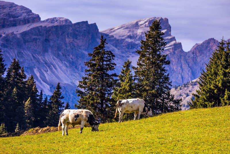 Bauernhof-Kühe, die auf einem Hügel weiden lassen stockbilder