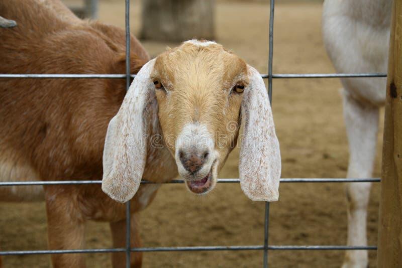 Bauernhof-Ziege mit Kopf durch Zaun lizenzfreie stockfotografie