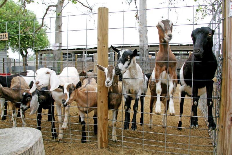 Bauernhofc$tier-billy-Ziegen lizenzfreie stockfotos