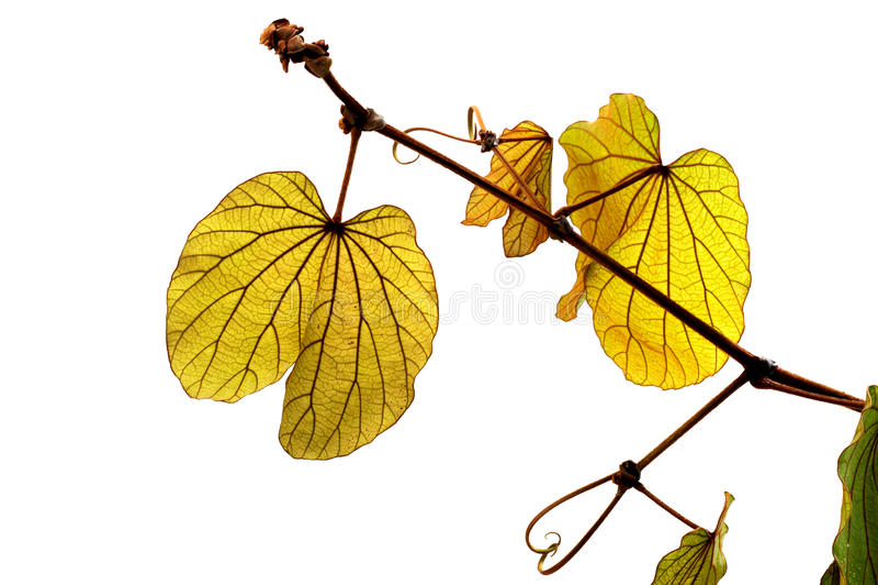 (Bauhinia aureifolia K.Larsen & S.S.Larsen), leaf form and texture royalty free stock photo