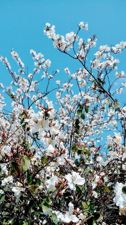 Bauhinia blanco, ?rbol de orqu?dea, floraci?n de la flor foto de archivo