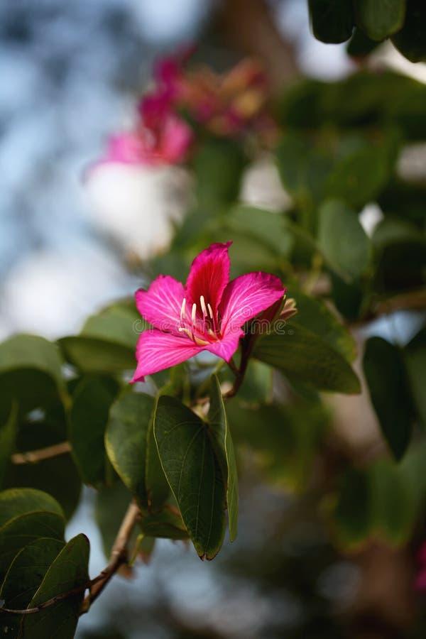 Bauhinia-Blume stockfoto