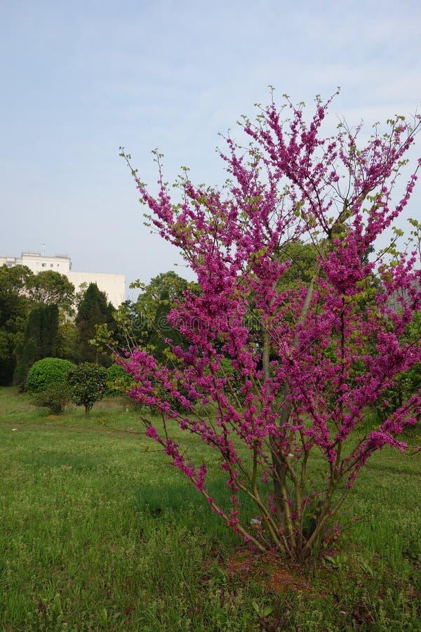 Download Bauhinia (CercischinensisBge) Stock Photo - Image of plants, season: 39510720