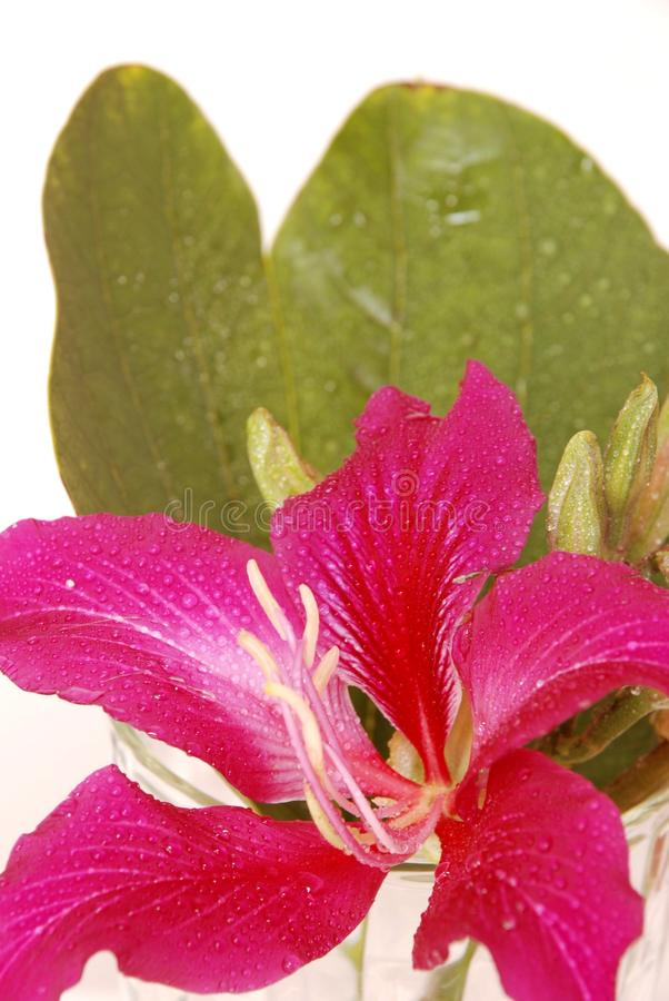 Bauhinia porpora fotografia stock libera da diritti