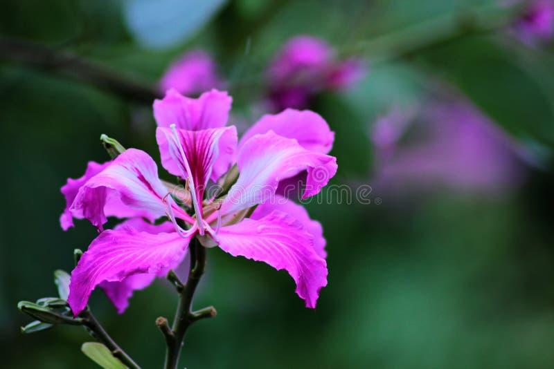 Bauhinia purpurea immagine stock libera da diritti