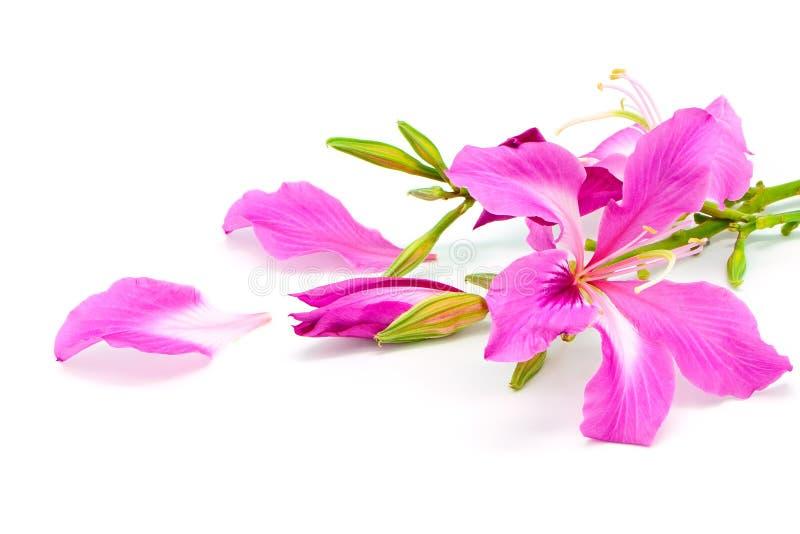 Bauhinia purpurea. Beautiful pink flower, Bauhinia purpurea, isolated on a white background royalty free stock photo
