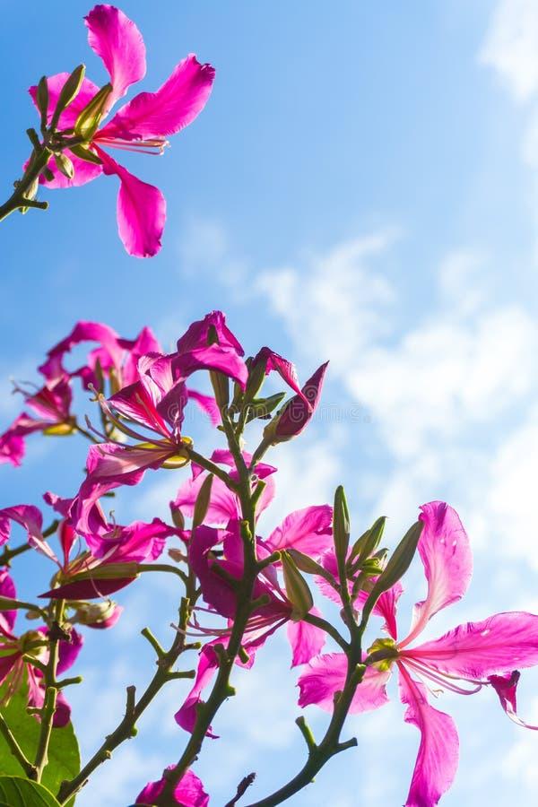 Bauhinia purpurea flowers in the sky.  stock photo