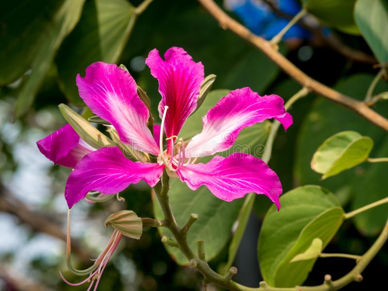 Bauhinia purpurea 002. The orchid tree Bauhinia purpurea L. is a medium-sized tree. The flower is purple and orchid-like in appearance stock images