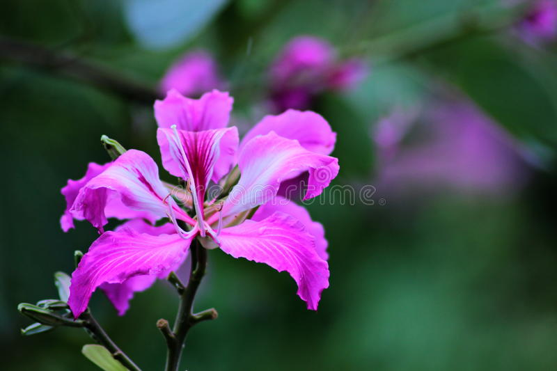 Bauhinia purpurea. Is a perennial high-approximately 5-15 meters of soft fur-covered branches. The appearance of the  is a single leaf resembles a heart shape royalty free stock image