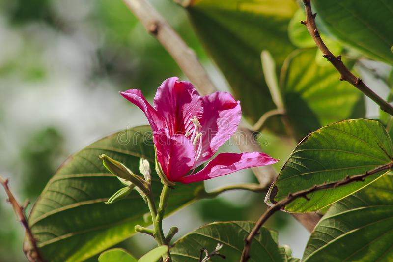 Bauhinia purpurea is pink in nature, blooming beautifully. royalty free stock photo